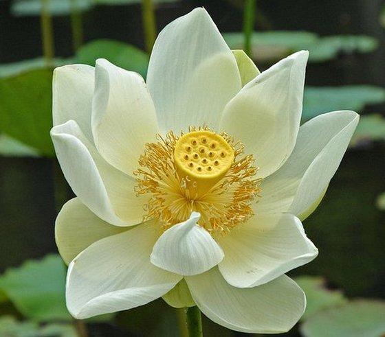 National Flower of Egypt