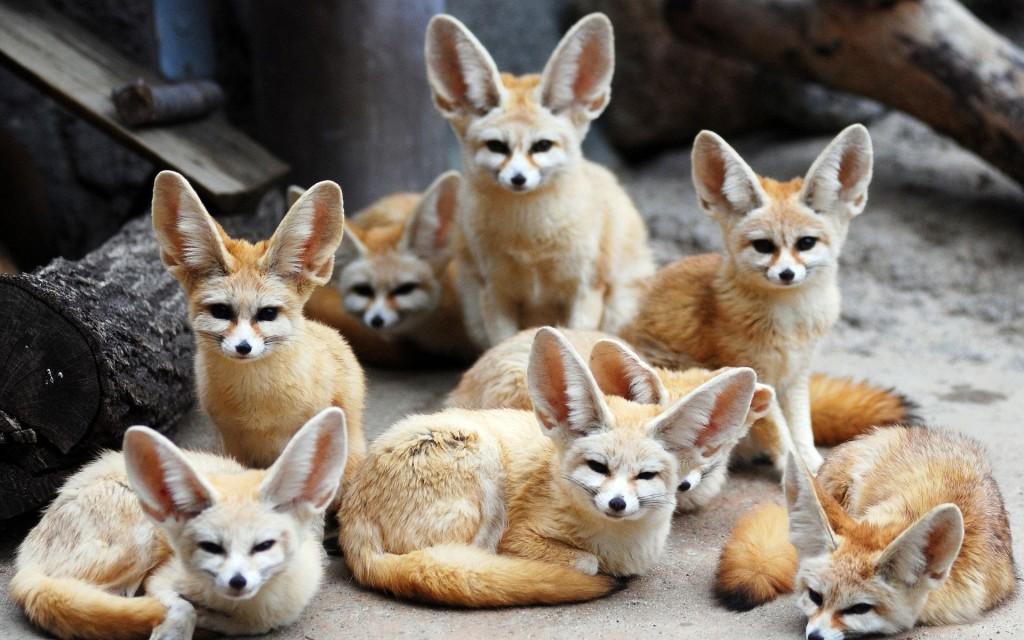 National animal of algeria fennec fox
