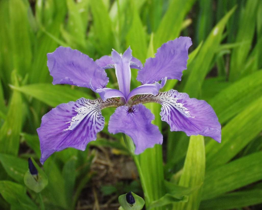 National flower of Algeria Iris