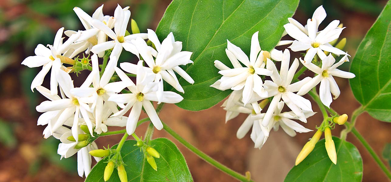 National Flower of Pakistan Jasmine flower