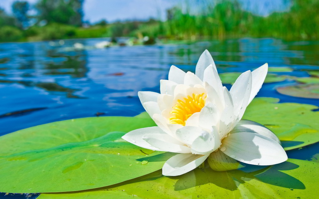 National flower of bangladesh white water lily