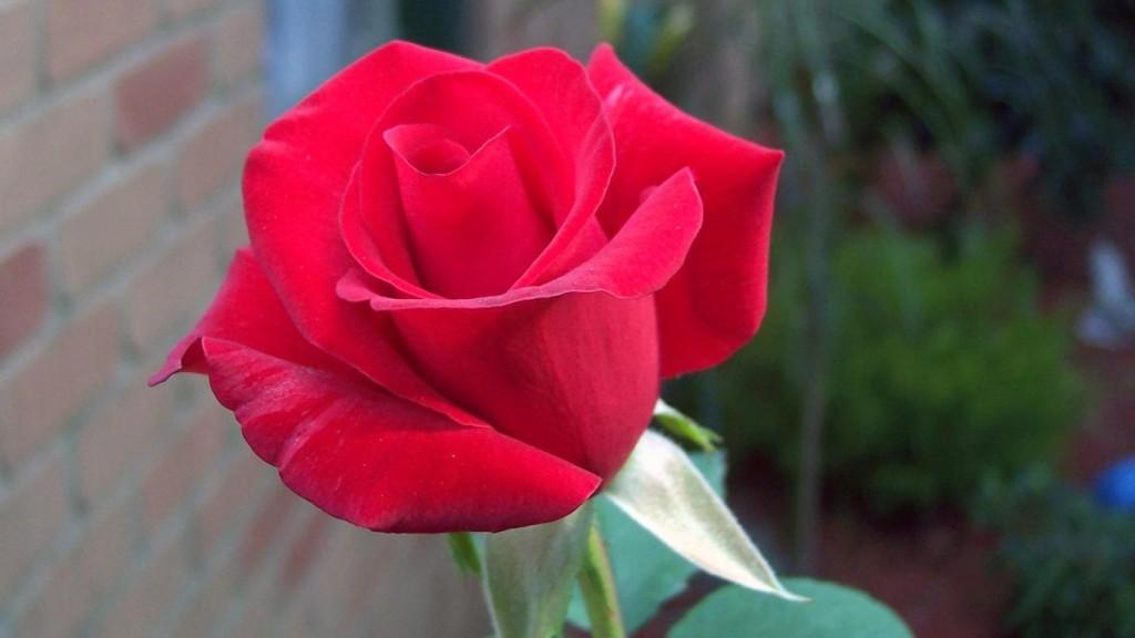 National flower of czech republic rose