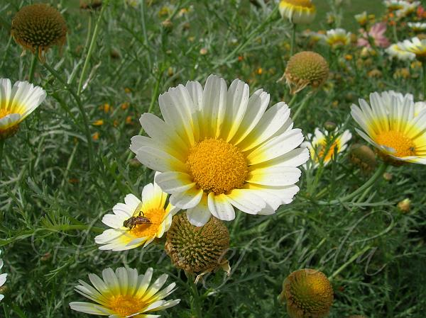 National flower of denmark marguerite daisy