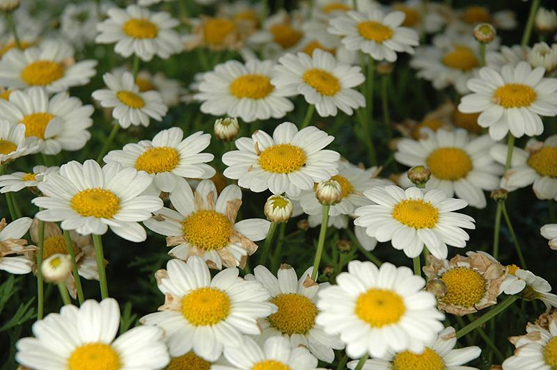 National flower of denmark