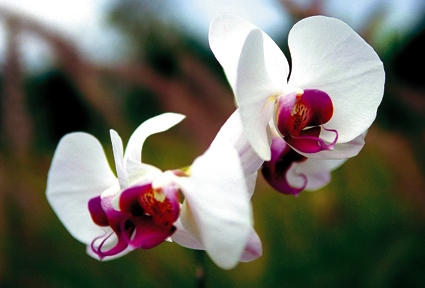 National flower of indonesia