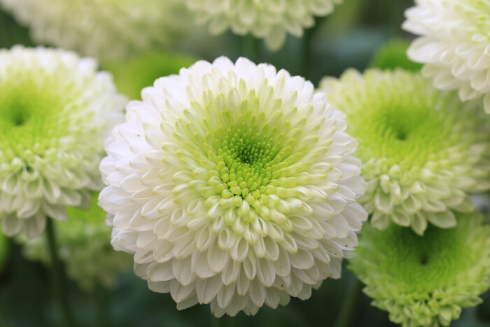 National flower of japan chrysanthemum