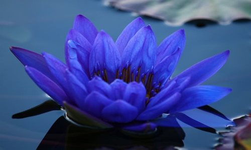 National flower of srilanka