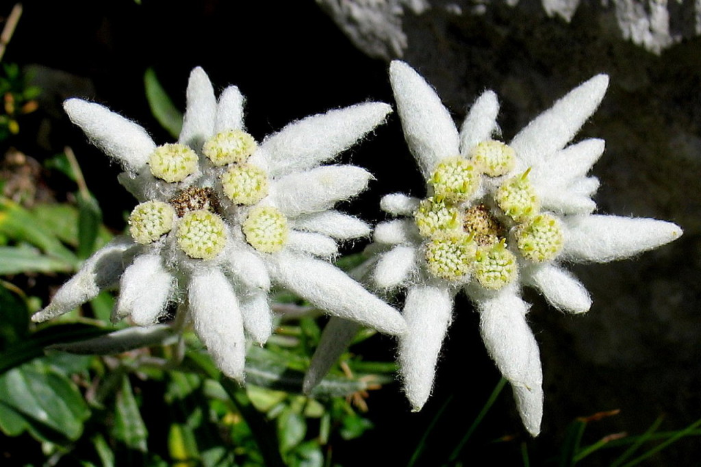 National flower of switzerland Edelweiss.
