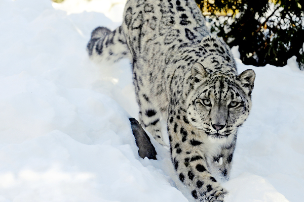national animal of Pakistan snow leopard