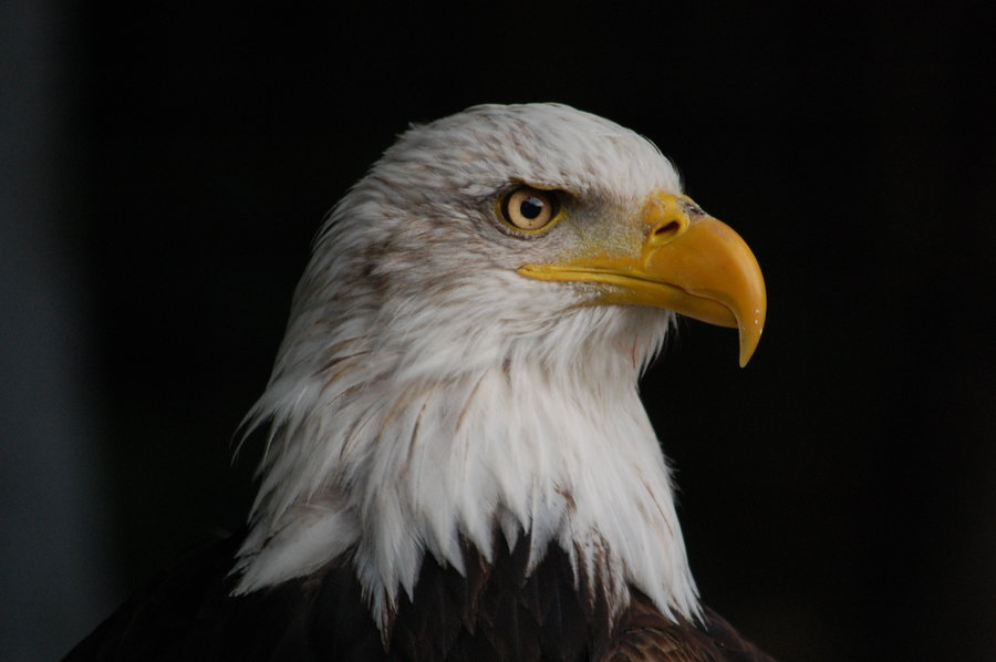 Bald Eagle The National Animal Of United States