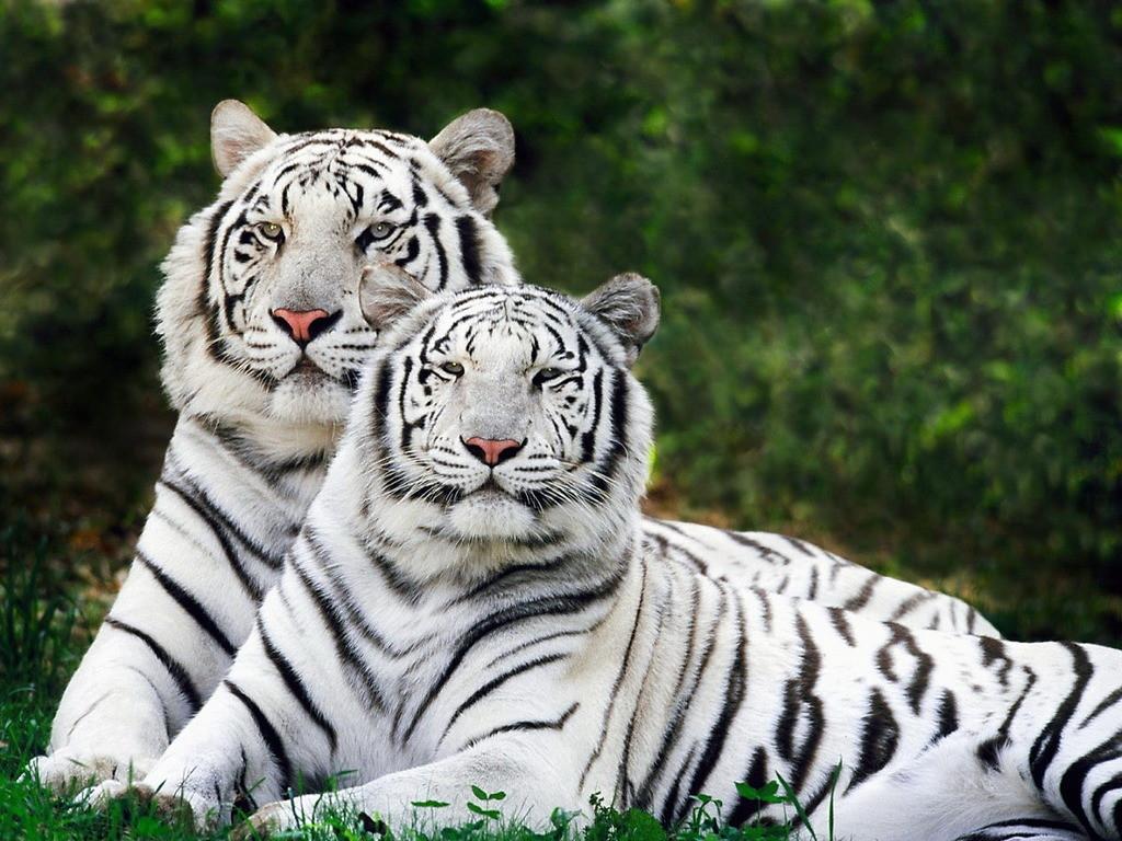 national animal of bangladesh white bengal tiger