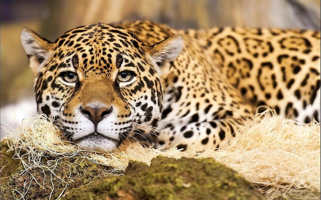national animal of brazil