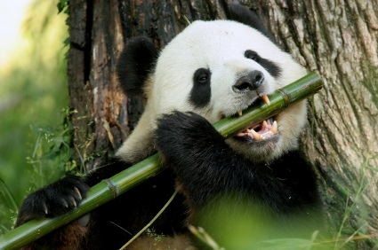 national animal of china giant panda