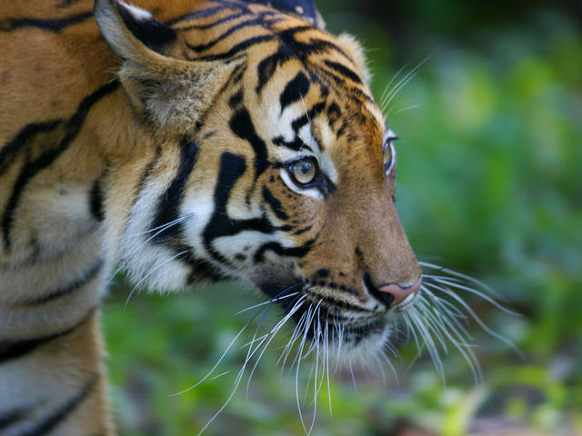 national animal of malaysia malayan tiger