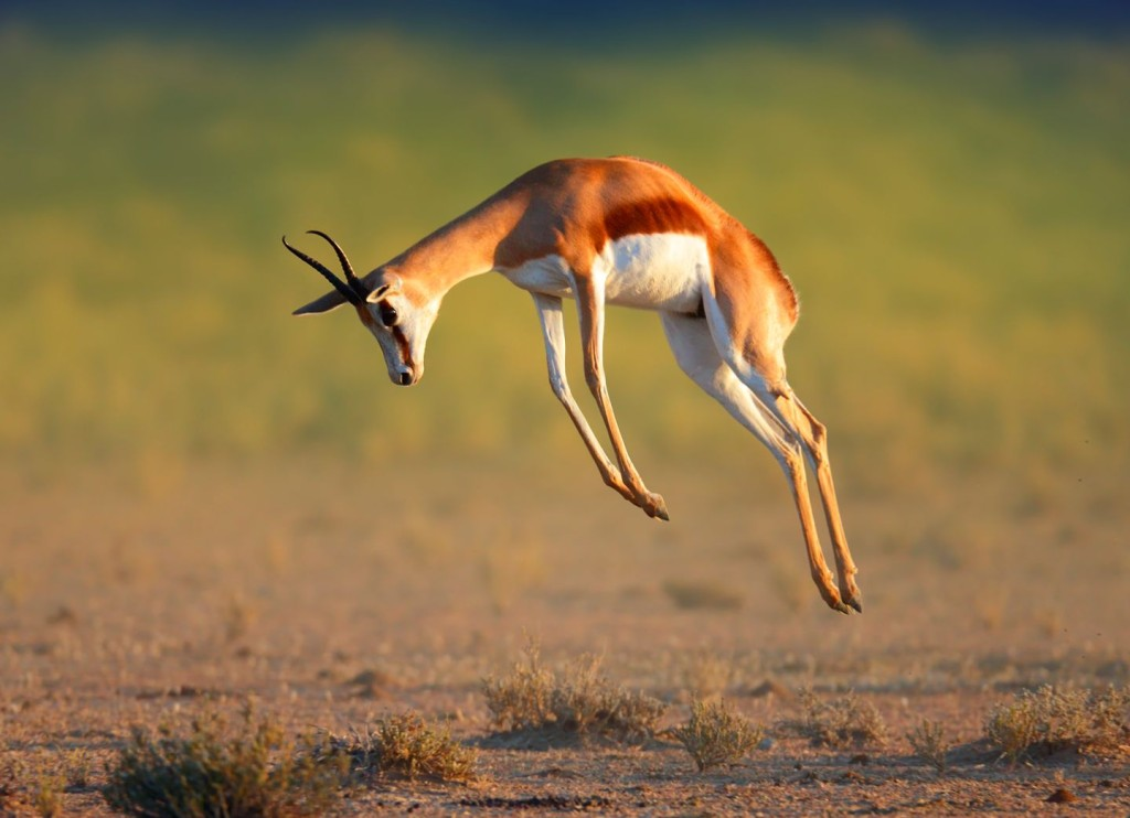 Springbok The National Animal Of South Africa