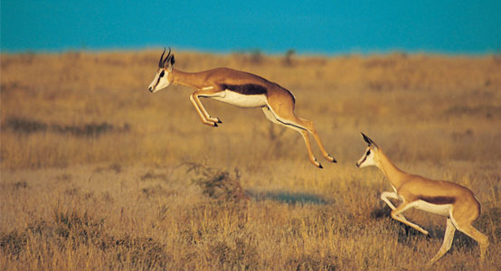 Image of: Unicorn National Animal Of South Africa Springbok Helo National Springbok The National Animal Of South Africa