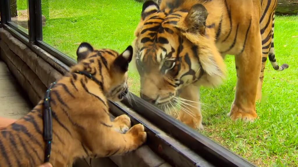 national animal of south korea tiger