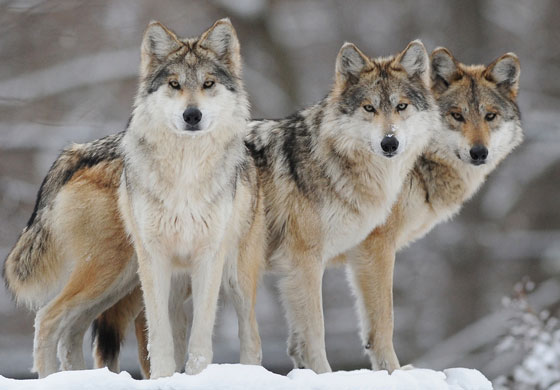 national animal of turkey gray wolf
