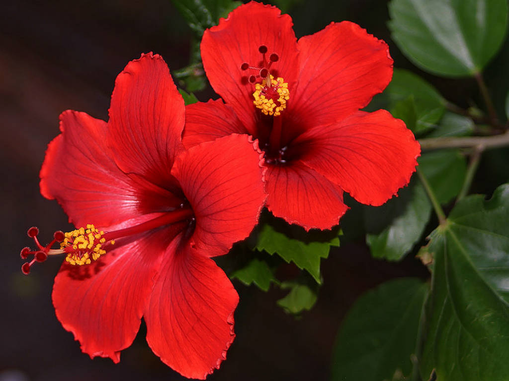 Interesting facts about hibiscus archives helo national all hibiscus rosa sinensis the national flower of malaysia izmirmasajfo