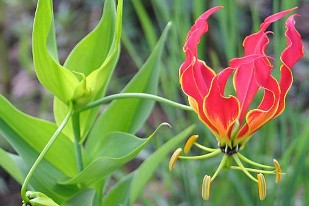 national flower of zimbabwe flame lily