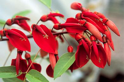Erythrina Cristina Galli the national flower of argentina