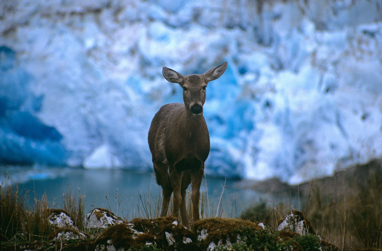 Huemul or south andean deer The National Animal of Chile
