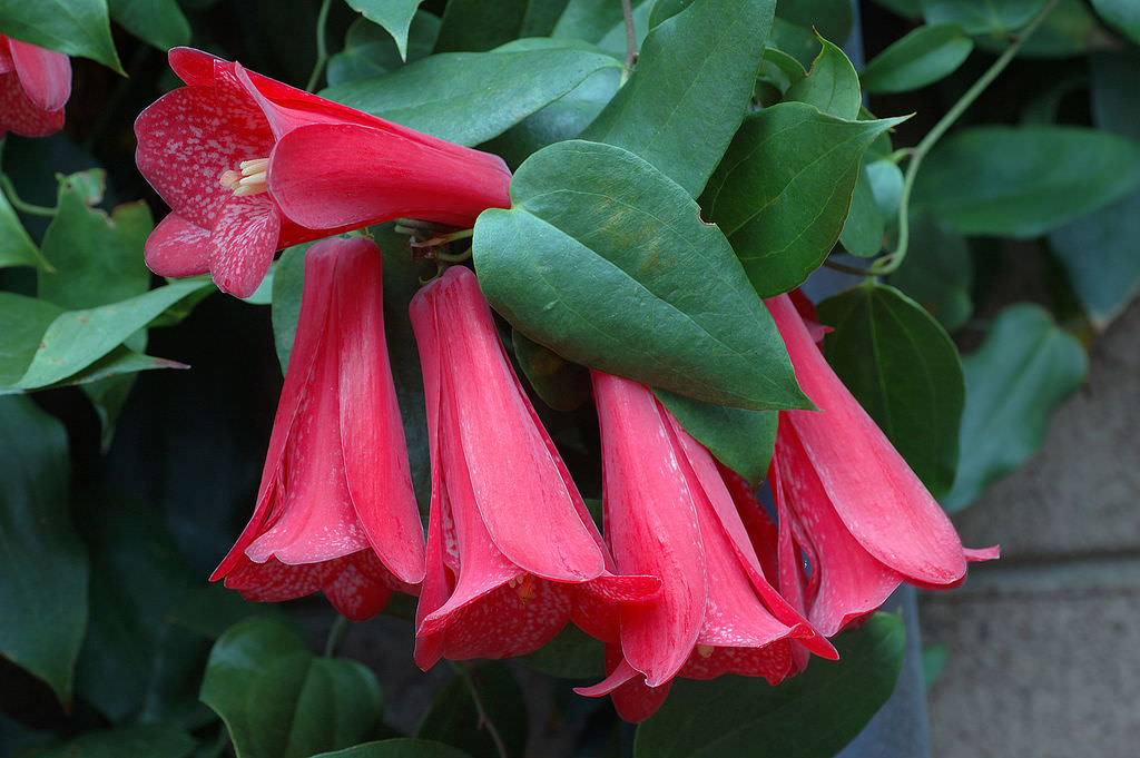 Lapageria Rosea the national flower of chile