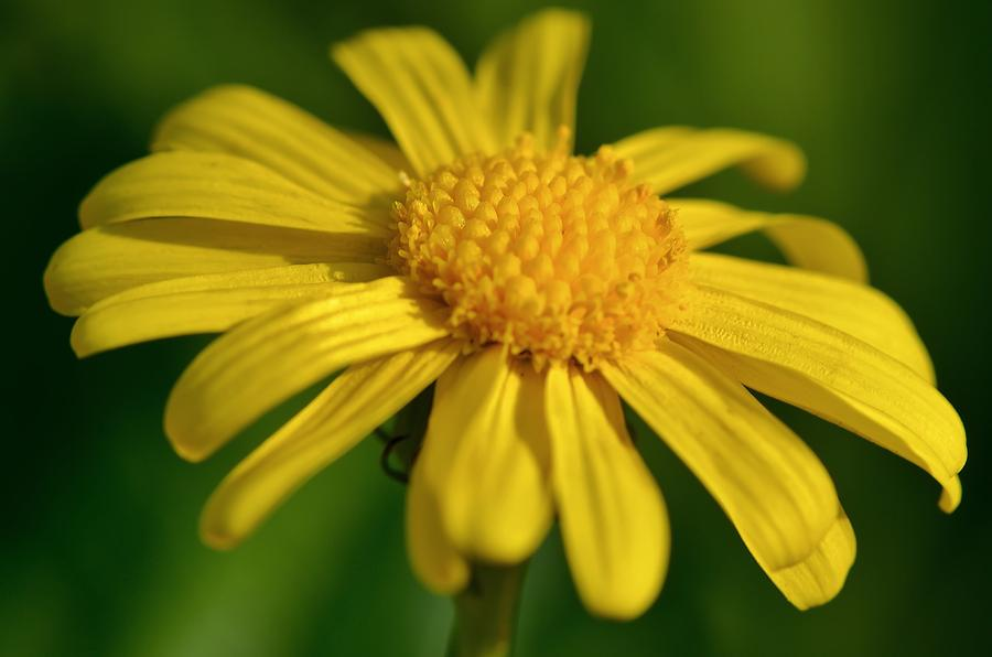 al-arfaj the national flower of kuwait