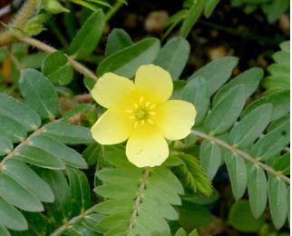 Tribulus The National Flower of United Arab Emirates