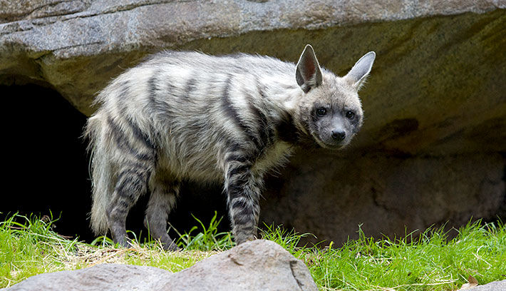 Striped Hyena - The National Animal of Lebanon