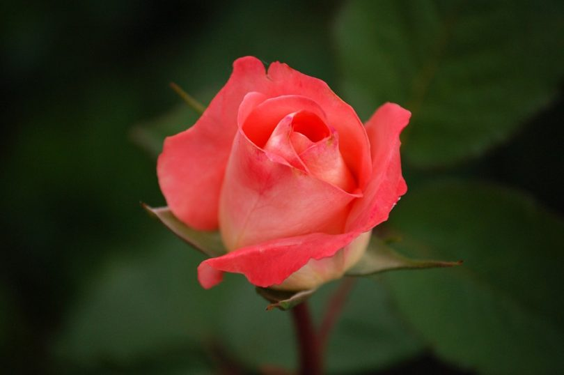 Rose: The National Flower of Turkmenistan