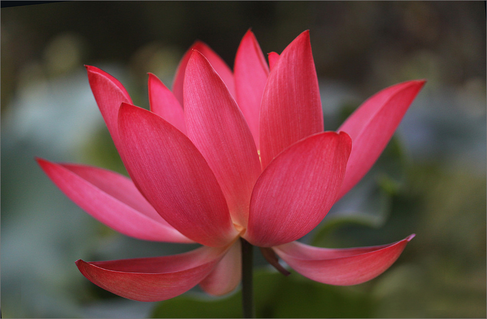 Red Lotus The National Flower of Vietnam