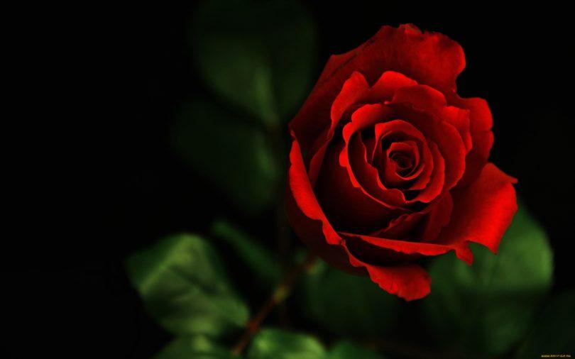 Rose: The National Flower Togo