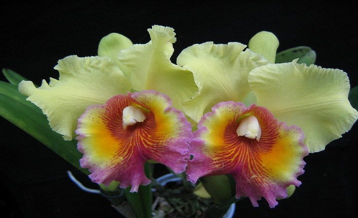 cattleya orchid  the national flower of brazil