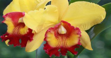 National Flower of Brazil