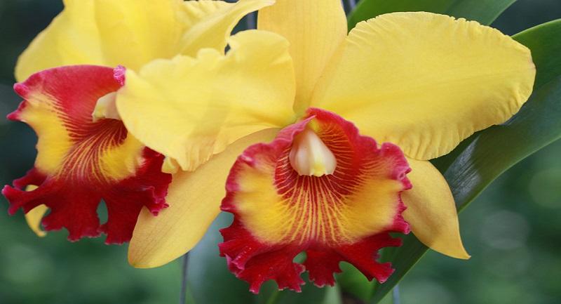 Cattleya orchid the national flower of brazil mightylinksfo