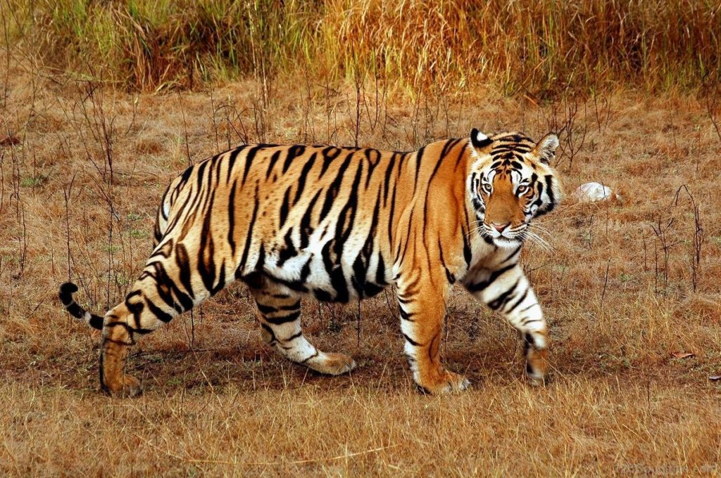 Royal Bengal Tiger National Animal of Bangladesh