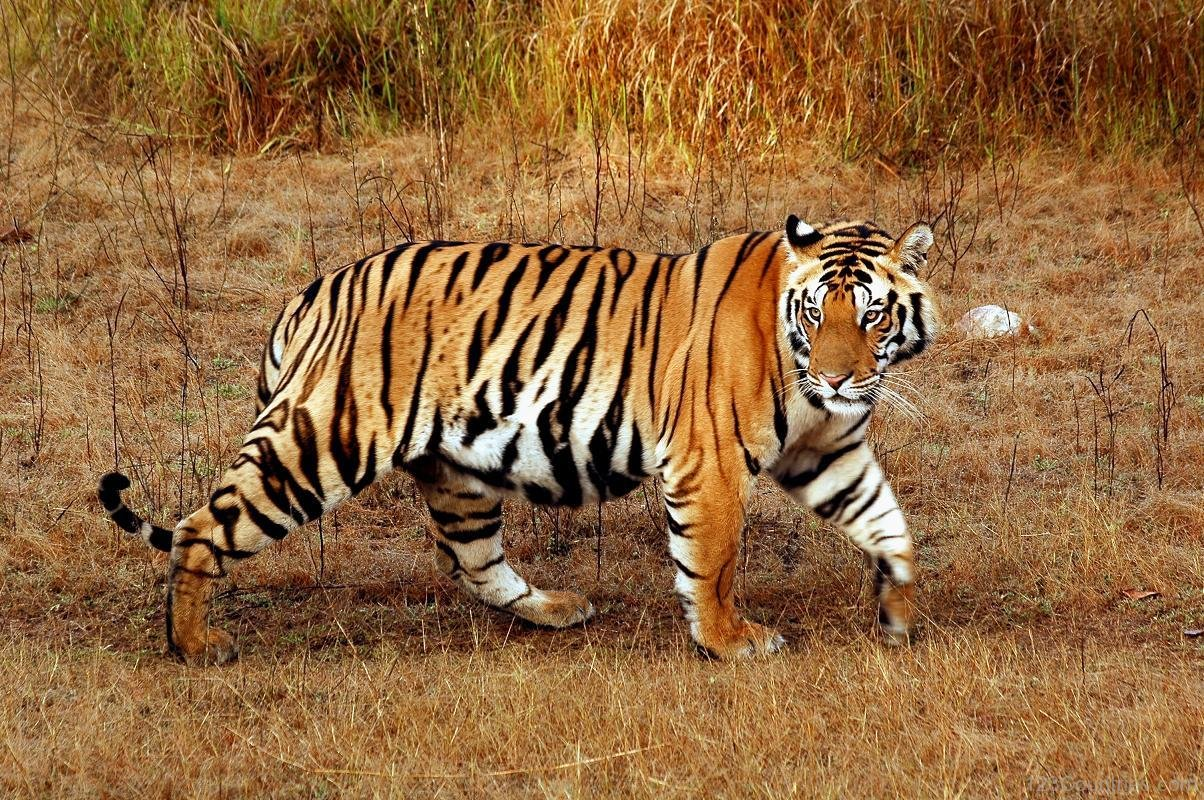 Royal Bengal Tiger National Animal of Bangladesh