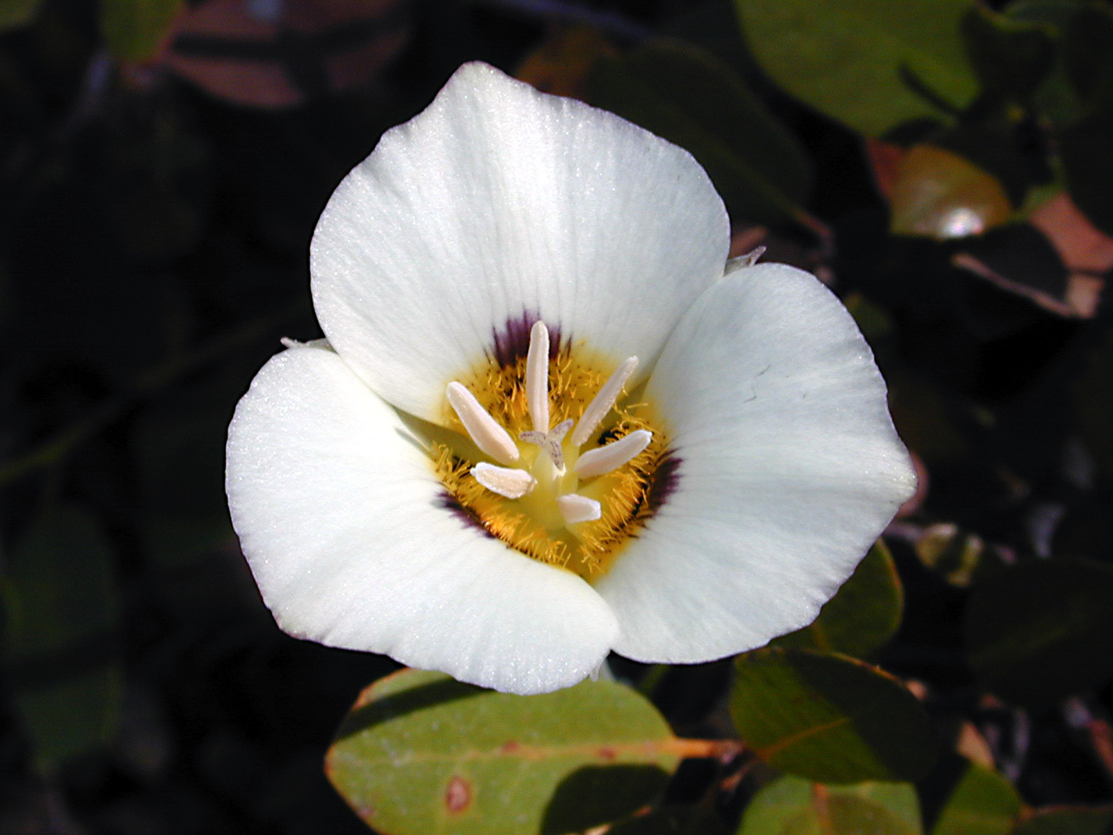 White-Mariposa-Cuba-National-Flower-