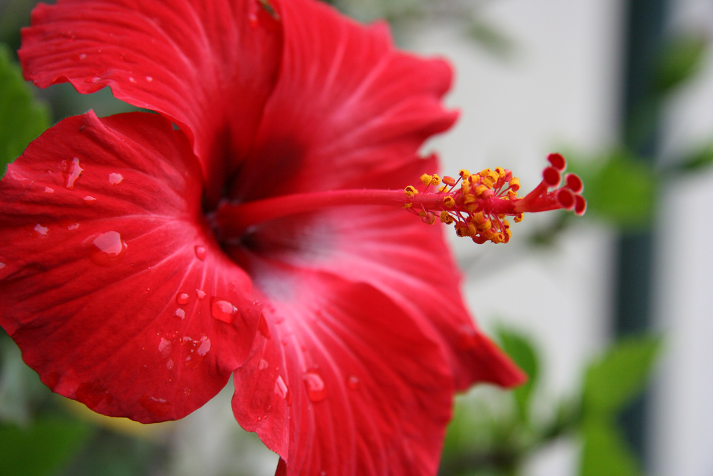 Hibiscus the national flower of haiti