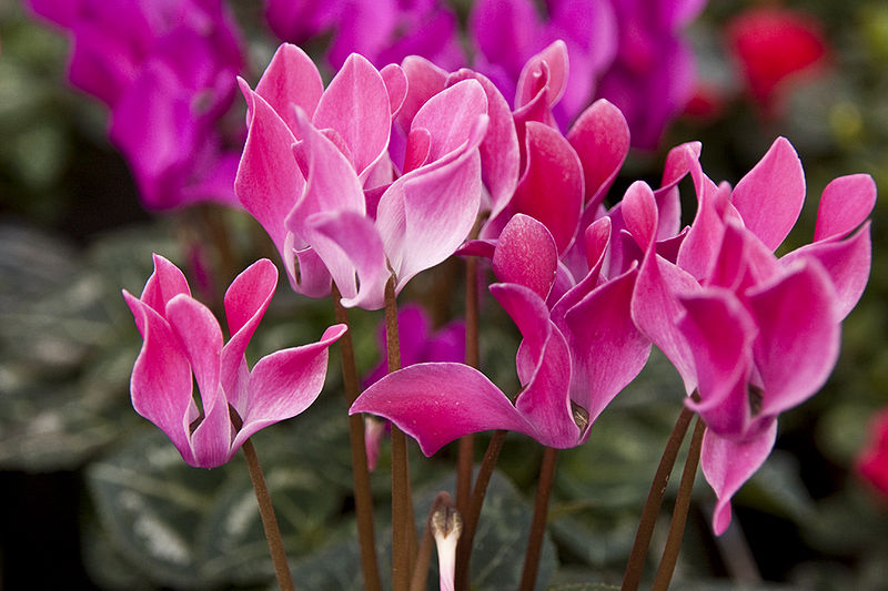 cyclamen persicum the national flower of israel