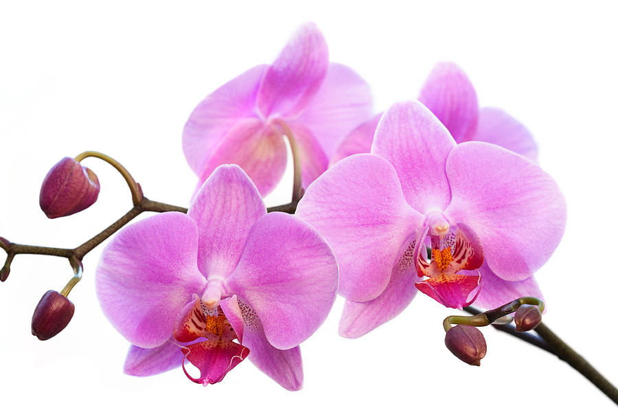 Facts About Singapore Orchids