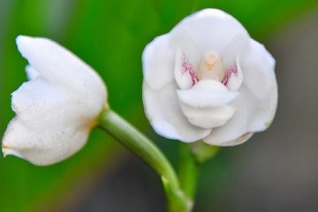 Peristeria Elata National Flower of Panama