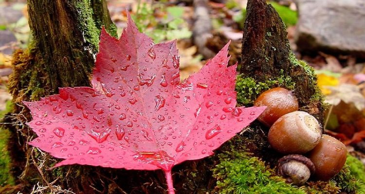 Maple Leaf: National flower of Canada