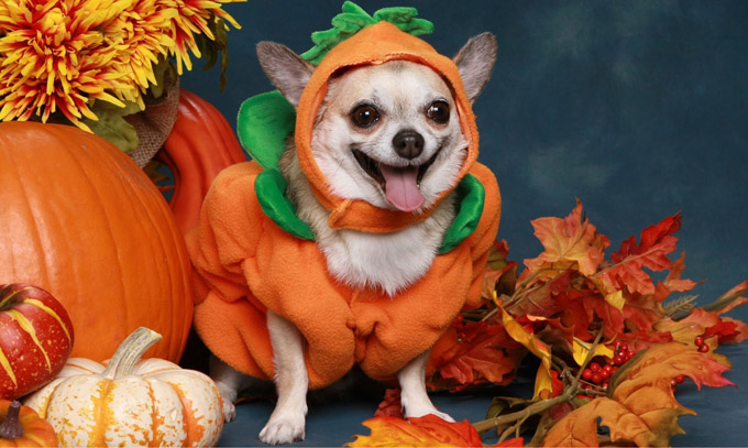 Chihuahua in little pumpkin costume