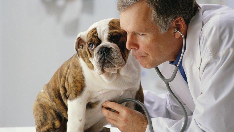 Veterinarian Using Stethoscope ca. 2002