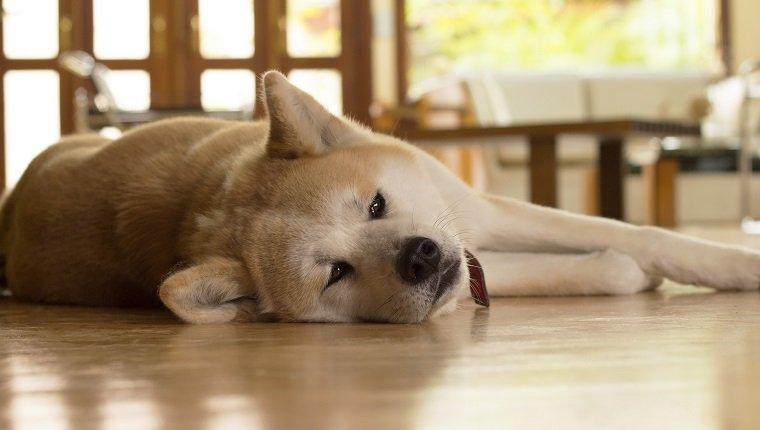 Akita dog laying down bored on blurred living room. Cute dog asleep on the floor.