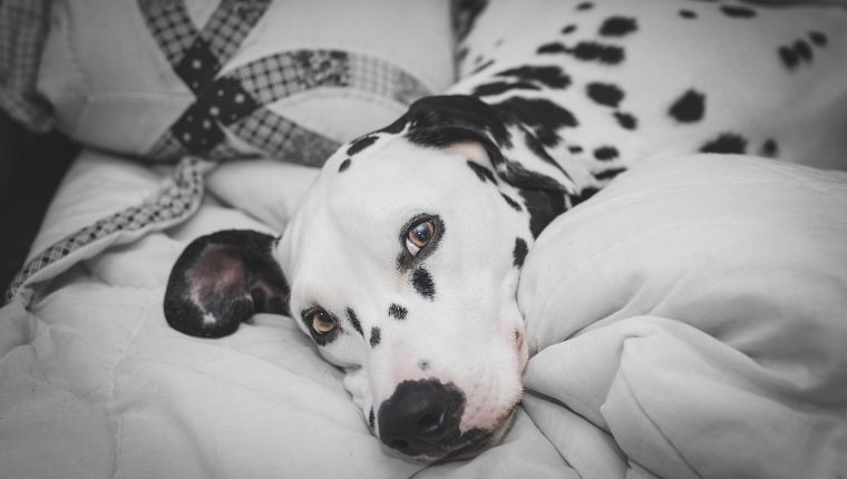 Close-Up Portrait Of Dalmatian Dog Lying On Bed At Home