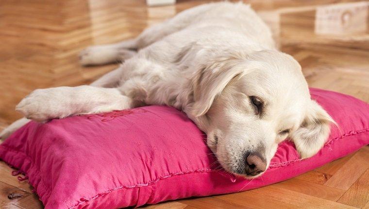 Resting Golden Retriever