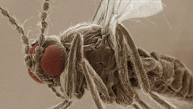 Coloured SEM of eye of sand fly (Ceratopogonidae)